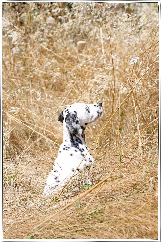 Voici Cookïe - Dalmatien- Petits Béguins
